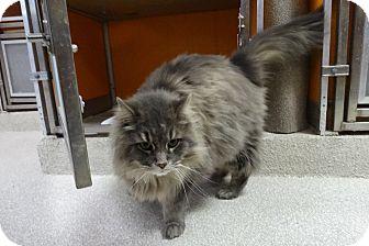 Domestic Longhair Cat for adoption in Elyria, Ohio - Thunder