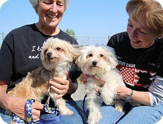Maltese Mix Dog for adoption in Elyria, Ohio - Iris & Rose