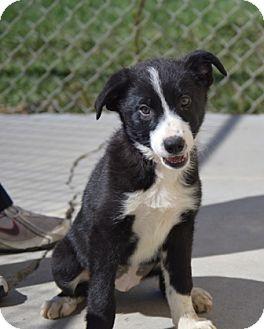 Border Collie Mix Puppy for adoption in Lloydminster, Alberta - MJ
