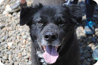 Border Collie/Akita Mix Dog for adoption in Breinigsville, Pennsylvania - Shadow
