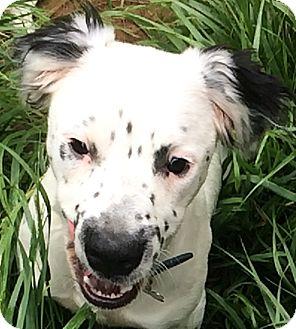 Dalmatian/Spaniel (Unknown Type) Mix Puppy for adoption in Mandeville Canyon, California - Denali