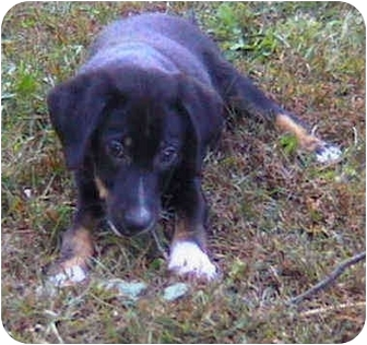 Border Collie/Hound (Unknown Type) Mix Puppy for adoption in Buffalo, New York - Jade