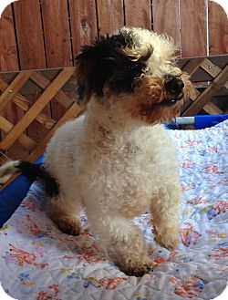 Poodle (Toy or Tea Cup) Dog for adoption in Carlsbad, California - TITAN