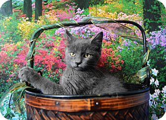 Domestic Shorthair Kitten for adoption in Buena Vista, Colorado - Hoops