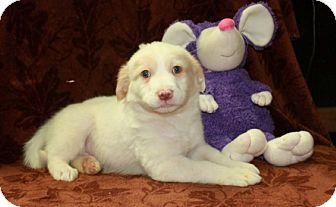 Great Pyrenees/Labrador Retriever Mix Puppy for adoption in Salem, New Hampshire - Dyson