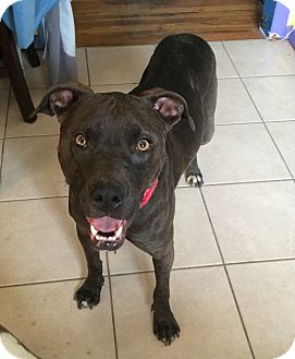 American Pit Bull Terrier Mix Dog for adoption in Colorado Springs, Colorado - Suzie