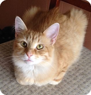 Domestic Mediumhair Cat for adoption in Warren, Michigan - Gavin