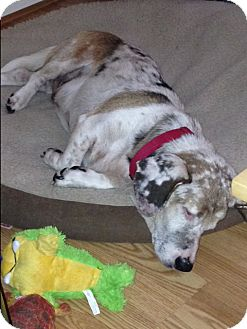 Basset Hound/Dachshund Mix Dog for adoption in Columbia, South Carolina - Oscar