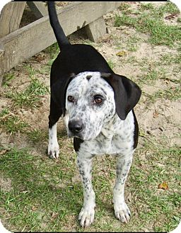 Pointer Mix Dog for adoption in Barnegat, New Jersey - Freckles