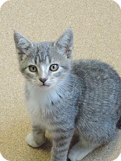 Domestic Shorthair Kitten for adoption in Brookings, South Dakota - Gucci