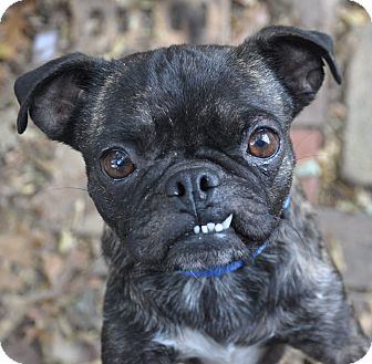 Pug Mix Dog for adoption in Southington, Connecticut - Herbie
