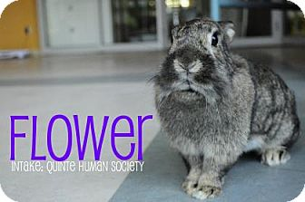 Lionhead Mix for adoption in Hamilton, Ontario - Flower