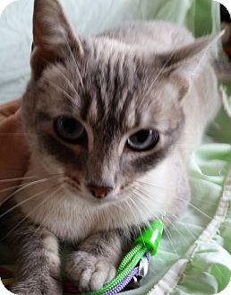 Siamese Cat for adoption in Hagerstown, Maryland - Lilly