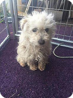 Miniature Poodle/Maltese Mix Dog for adoption in Davis, California - Honey