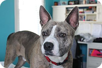 Australian Cattle Dog/Pit Bull Terrier Mix Dog for adoption in Parsippany, New Jersey - Luke
