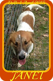 Corgi/Brittany Mix Dog for adoption in Jersey City, New Jersey - JANET