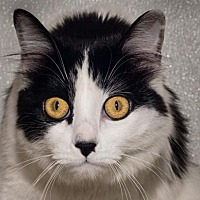 Domestic Mediumhair Cat for adoption in Prescott, Arizona - Missy
