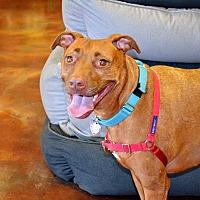 Adopt A Pet :: Saffron - Chandler, AZ