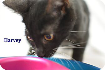 Domestic Shorthair Kitten for adoption in Miami Shores, Florida - Harvey