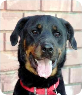 Rottweiler Dog for adoption in West Los Angeles, California - Karma