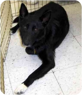 Border Collie/German Shepherd Dog Mix Dog for adoption in Overland Park, Kansas - Rory