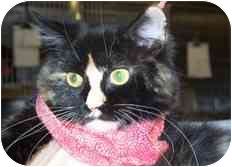 Domestic Shorthair Cat for adoption in Saint Charles, Missouri - Daisy