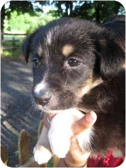 Border Collie Mix Puppy for adoption in Windsor, Connecticut - Ava