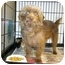 Photo 2 - Poodle (Miniature)/Cairn Terrier Mix Dog for adoption in Shelbyville, Kentucky - Jullian