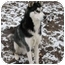 Photo 3 - Siberian Husky Dog for adoption in Belleville, Michigan - Brutus