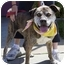 Photo 2 - American Pit Bull Terrier Mix Dog for adoption in Berkeley, California - Shirley Temple