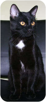 Domestic Shorthair Cat for adoption in Edmonton, Alberta - Licorice