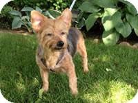 Yorkie, Yorkshire Terrier Mix Dog for adoption in Avon, New York - Armani