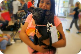 Chihuahua/Dachshund Mix Dog for adoption in Homestead, Florida - Vessi