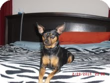 Miniature Pinscher Mix Dog for adoption in justin, Texas - Charlie