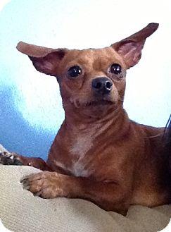 Chihuahua/Dachshund Mix Dog for adoption in Gainesville, Florida - California
