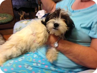 Shih Tzu/Poodle (Miniature) Mix Dog for adoption in Hazard, Kentucky - Tab