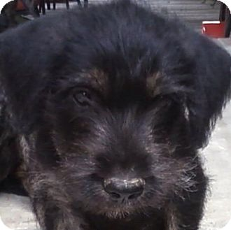 Schnauzer (Miniature) Mix Puppy for adoption in Somers, Connecticut - Catie