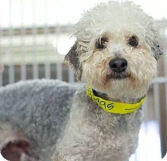 Poodle (Miniature) Mix Dog for adoption in Encino, California - Sebastian