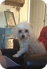 Maltese Mix Dog for adoption in Santee, California - Molly