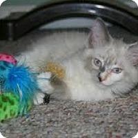 Adopt A Pet :: Phoebe - Arlington, VA