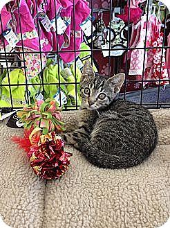 Domestic Shorthair Kitten for adoption in Horsham, Pennsylvania - Saturn