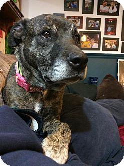 Pit Bull Terrier/Plott Hound Mix Dog for adoption in Philadelphia, Pennsylvania - LIBERTY!