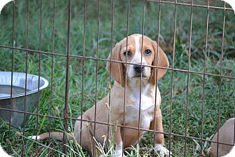 Beagle Puppy for adoption in Springfield, Virginia - Cindy Lou