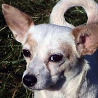 Pug/Chihuahua Mix Dog for adoption in Tyler, Texas - AA-Beauregard