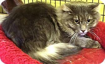 Domestic Longhair Cat for adoption in Savannah, Georgia - Jagar