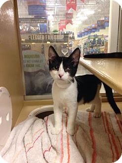 Domestic Shorthair Kitten for adoption in Plymouth Meeting, Pennsylvania - Chuckie