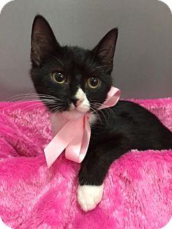 Domestic Shorthair Kitten for adoption in Houston, Texas - Sister