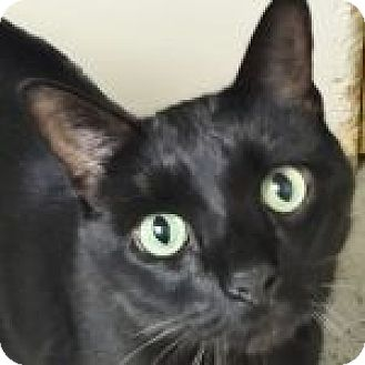 Domestic Shorthair Cat for adoption in Medford, Massachusetts - Binx