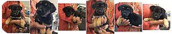 German Shepherd Dog Mix Puppy for adoption in Walnut Creek, California - A Litter of Puppies