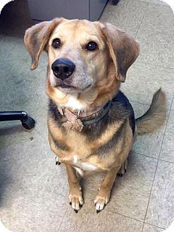 German Shepherd Dog/Beagle Mix Dog for adoption in Oak Ridge, New Jersey - Missy